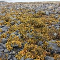 Seaweed Skye